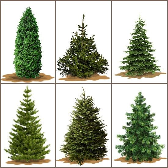 Type Of Christmas Trees.A Useful Guide To Pick The Right Christmas Tree Christmas