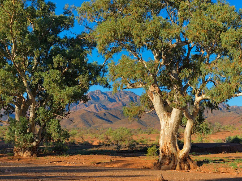 In The Flinders Ranges South Australia Stately River Red Gums