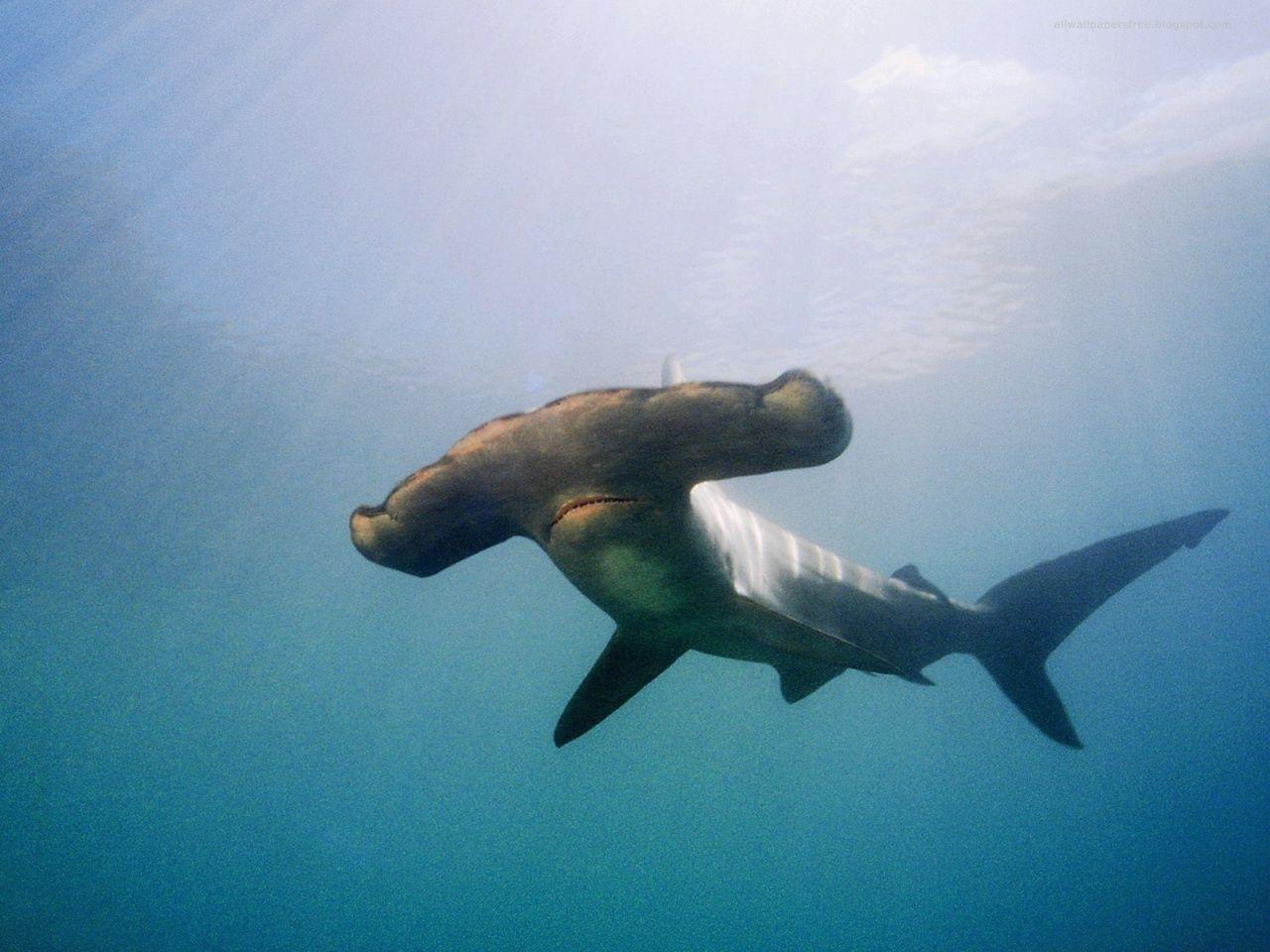 hammer shark Hammerhead shark, Shark facts, Shark