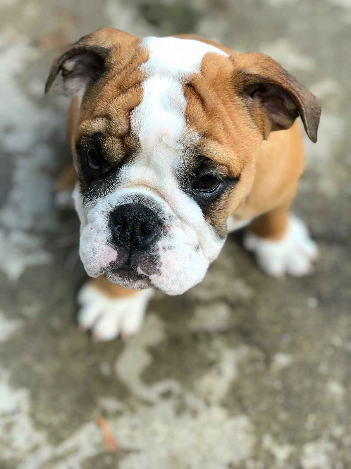 Charlie Puppy English Bulldogs For Sale In Chicago Illinois