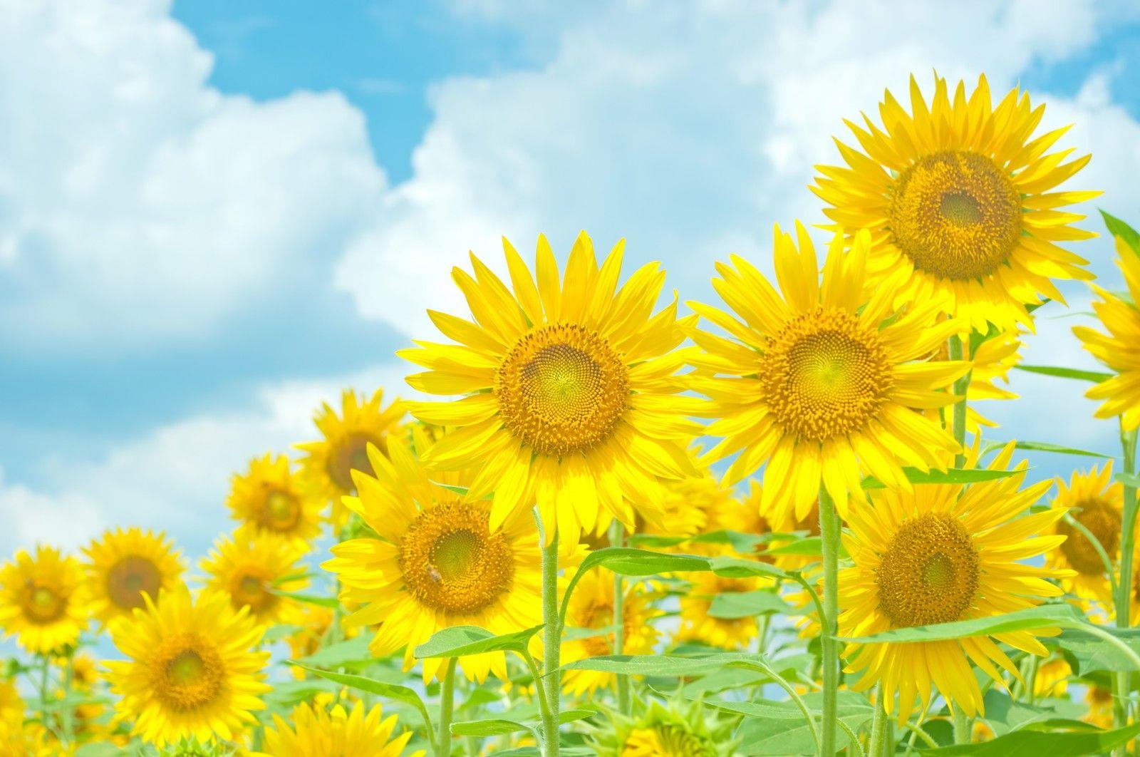 青空と黄色い向日葵 ぱくたそ フリー写真素材 無料ダウンロード Flowers Photography Botanical Flowers