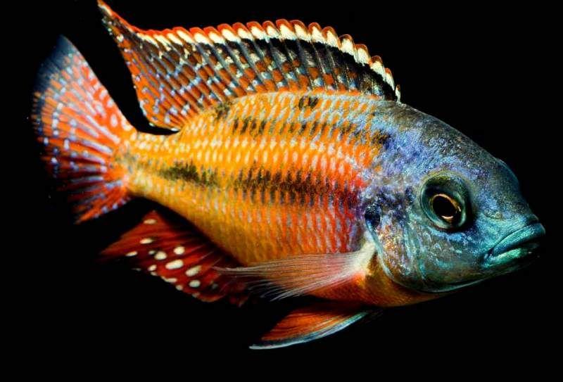 Cichlid Fish | Gorgeous Cichlid Fish Buy Gorgeous Cichlid Fish Price Photo