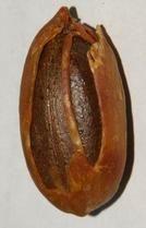 Myristica Fragrans Dried Nutmeg Seed With Arillus Myristica