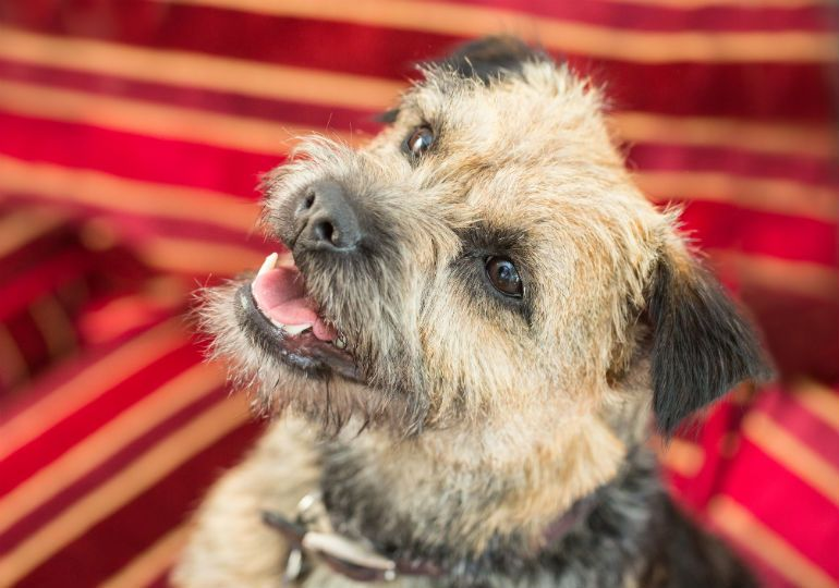 Pin By Shelly Ford On Animals Cats Dogs Domestic In 2020 Border Terrier American Kennel Club Terrier Breeds