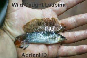 Wild Stock Sailfin Mollies Latipina Velifera Petenensis Beautiful Fish Freshwater Fish Fish