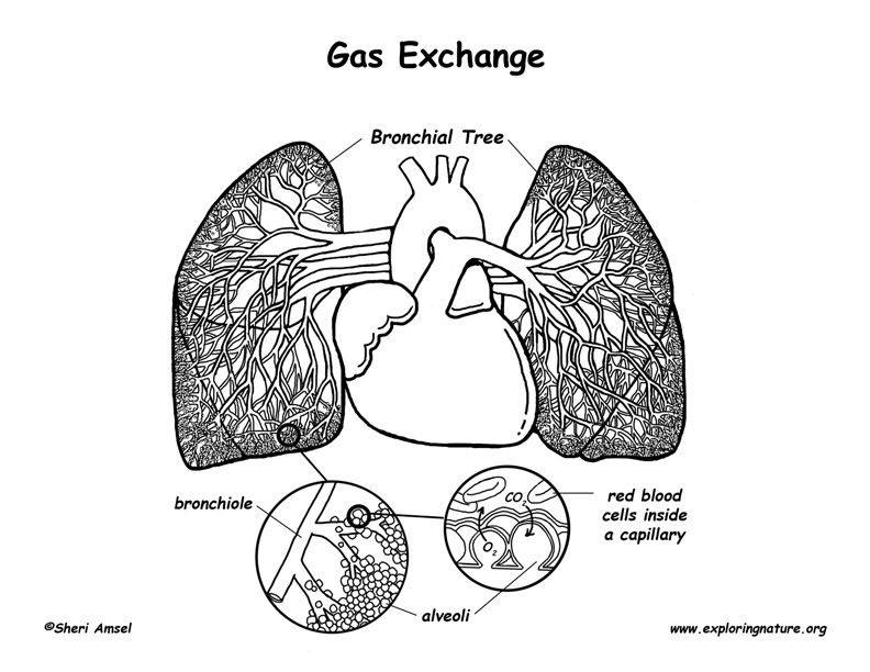 Circulation Through the Heart and Lungs | Science Projects ...