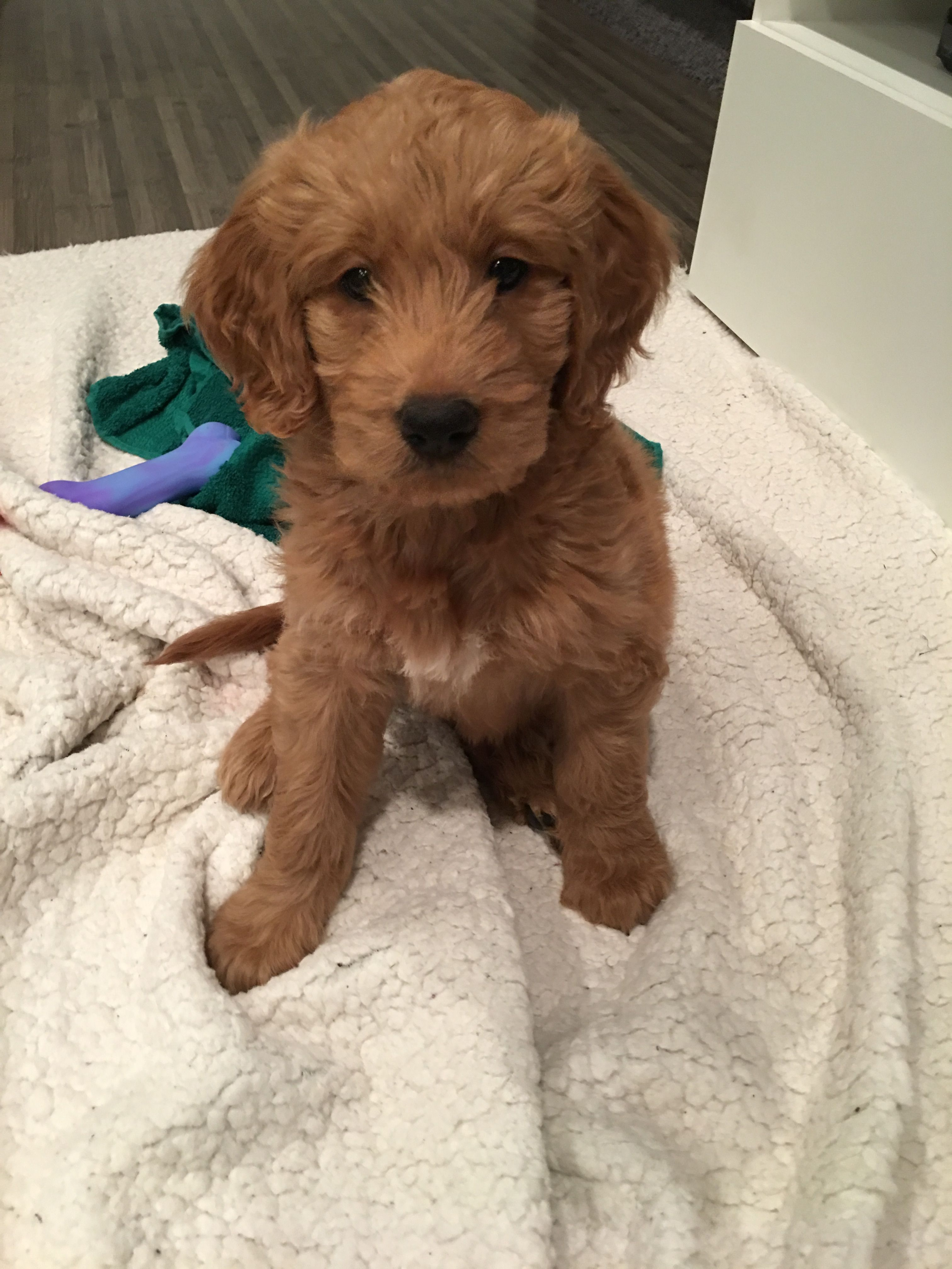 Doodle Goldendoodle Puppy 7 Weeks Goldendoodle Puppy Puppies