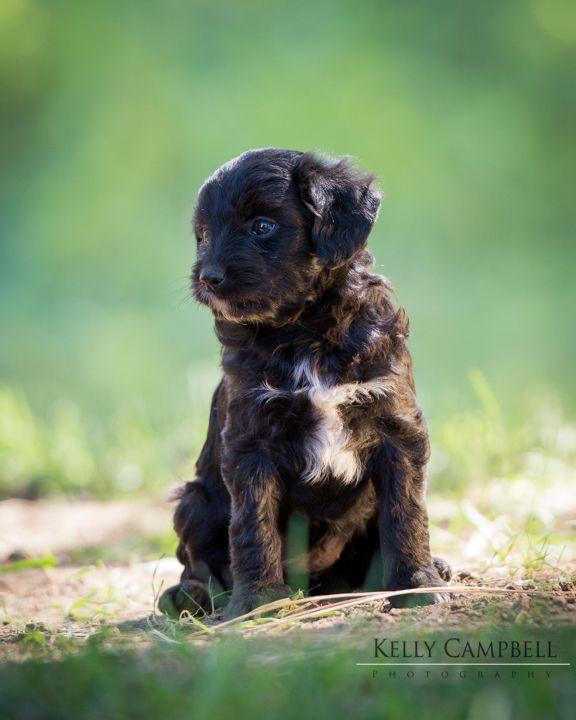 Miniature American Shepherd Poodle Miniature Mix Puppy For Sale