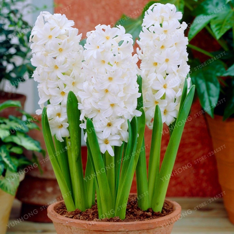 pcs hyacinth seeds bonsai flower seeds not hyacinth bulb