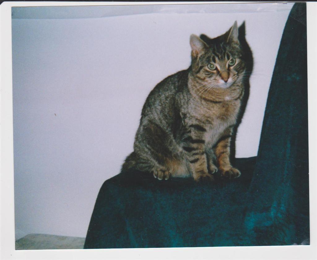 Lost Cat - Domestic Short Hair - Innisfil, ON, Canada L0L 1R0