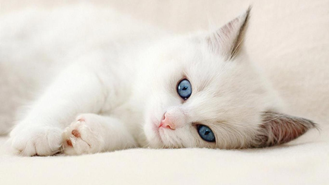 10 New Cute Cat Wallpapers Hd Full Hd 1080p For Pc Background Cute Cat Wallpaper Kittens Cutest Pretty Cats