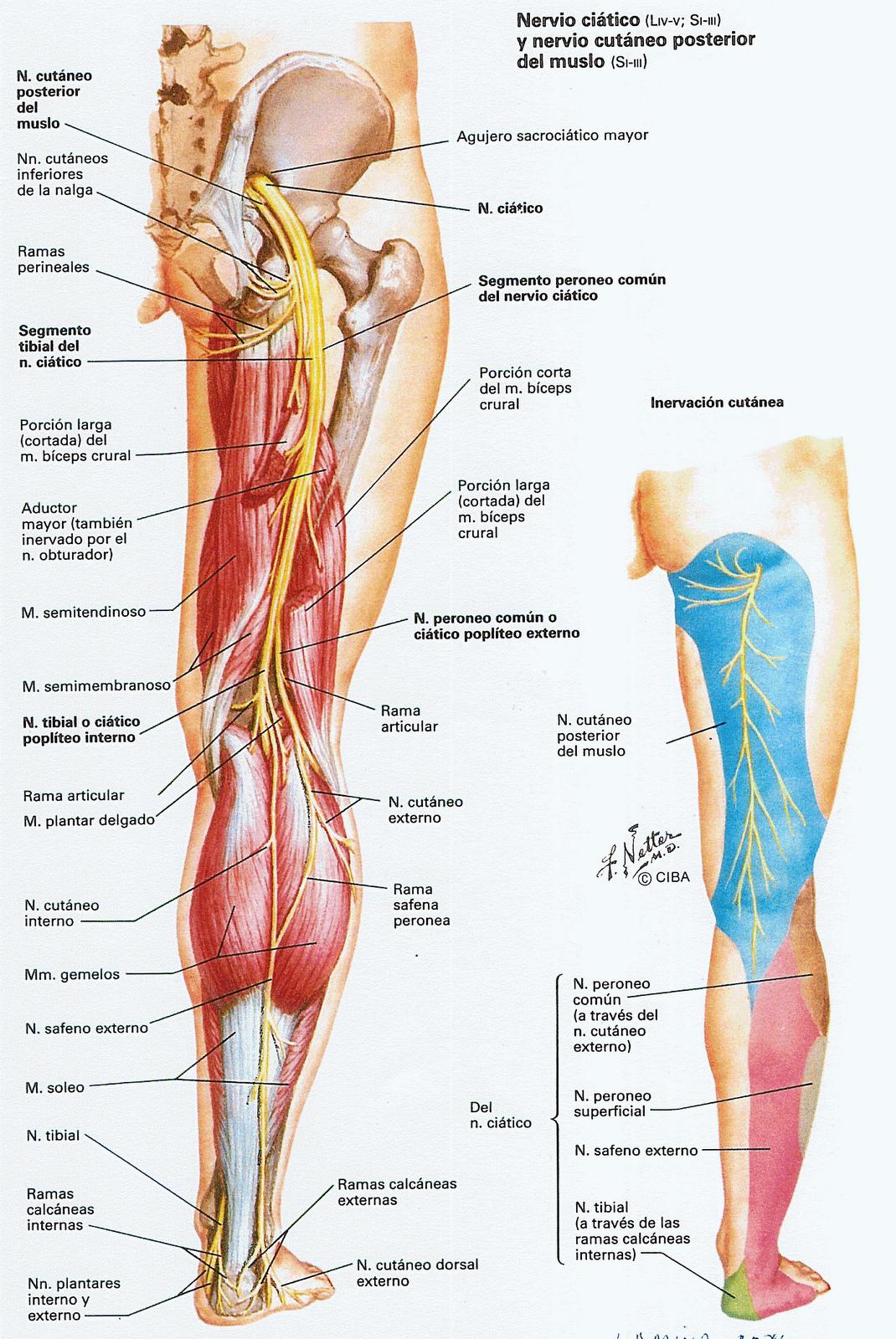 dermatomas+ciatico.png (1070×1600) | Body prototype | Pinterest ...