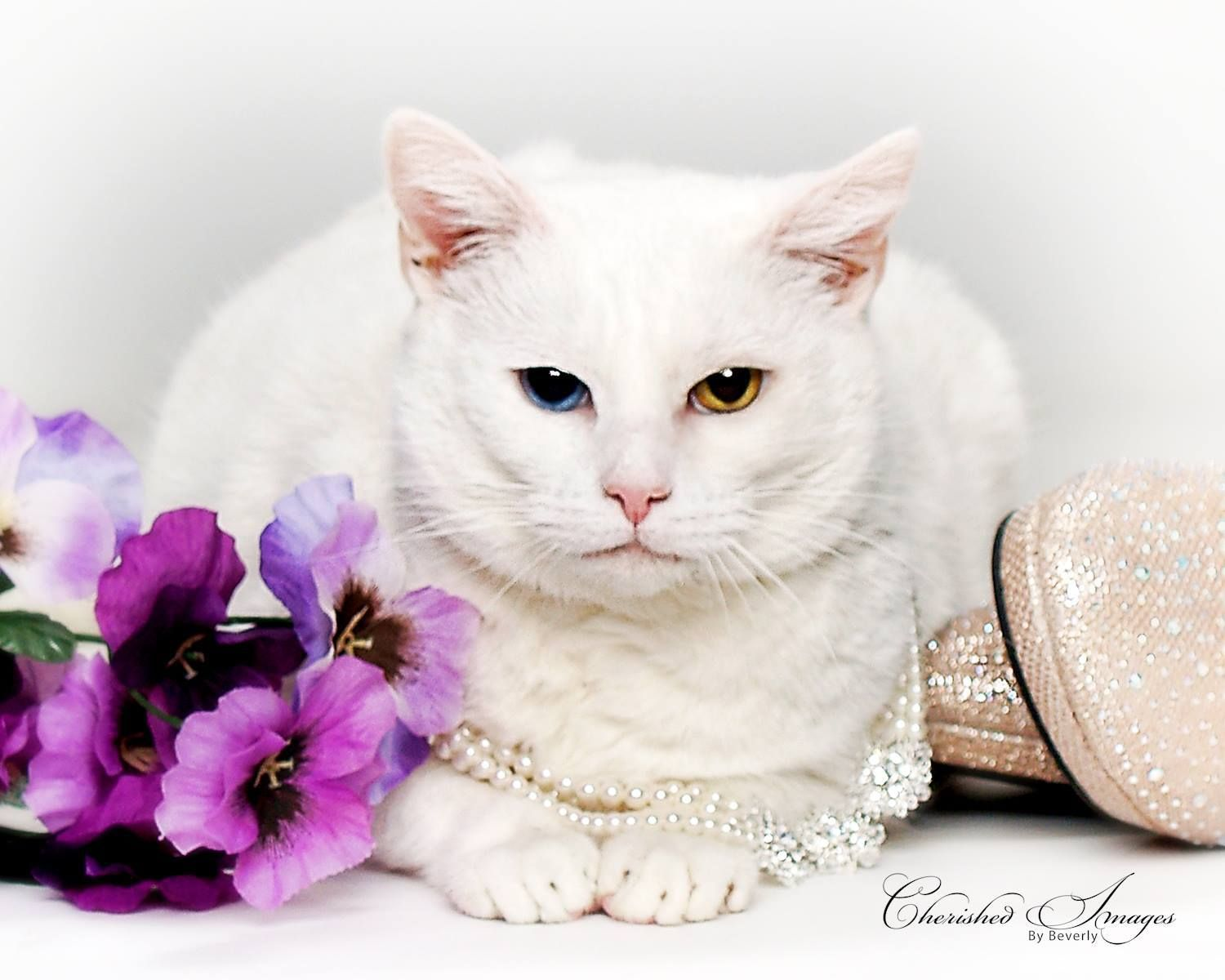 Adopt SNOWY on Animal rescue, Pet search, Cats, kittens