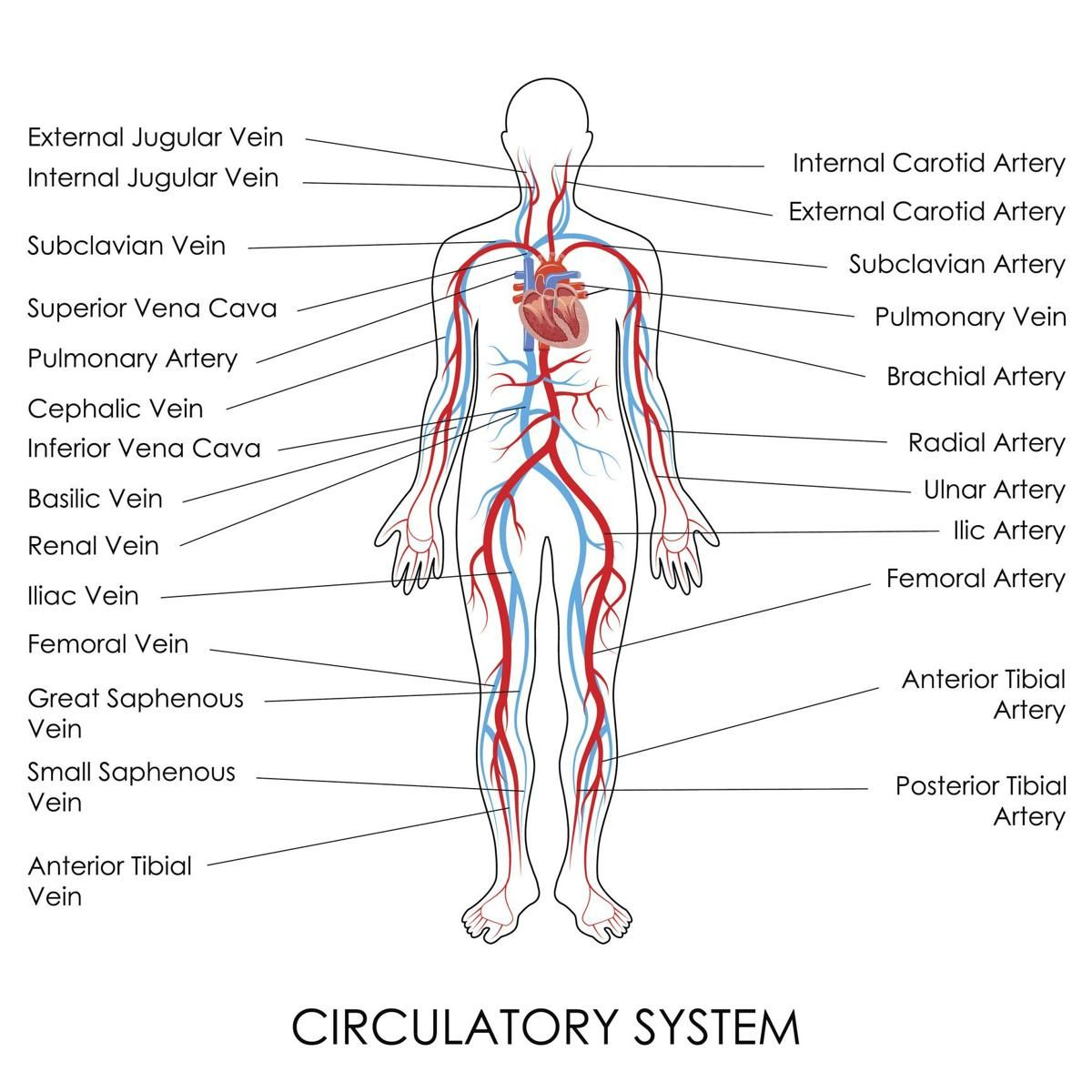 Human Circulatory System With Images Human Circulatory System