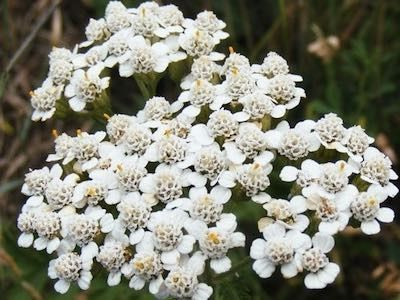 Proa Yarrow Organic Seeds Improved Yarrow With Higher Essential Oil Content 2 3 Foot Tall Perennial Herb Organic Seeds Herb Seeds Achillea Millefolium