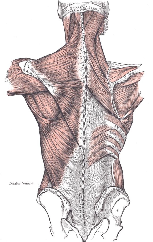 Thoracolumbar fascia - Wikipedia, the free encyclopedia   Anatomy ...