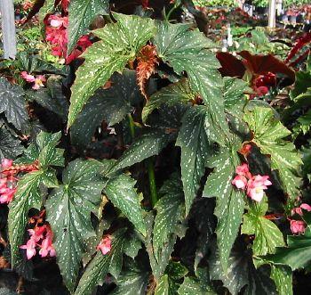 Begonia Lady Louise K Upright Large Growing Superba Type Cane Can