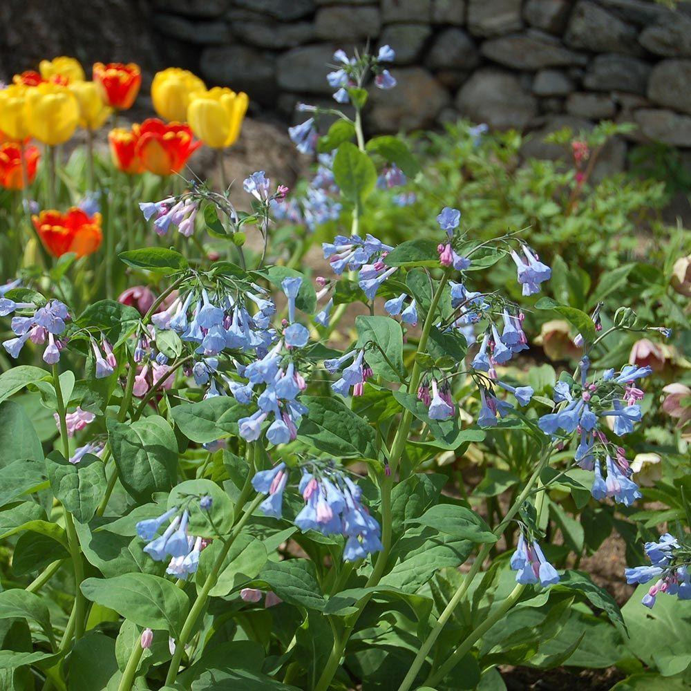 Mertensia Virginica Perennials Flower Garden Plans And Blue Garden