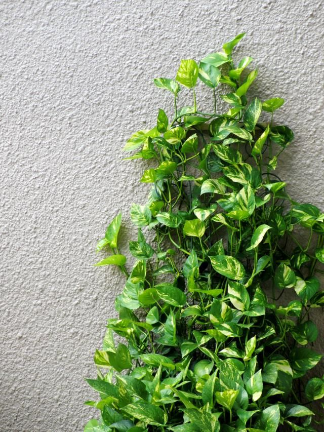 learn how to stake up various kinds of houseplants including vines and climbing plants