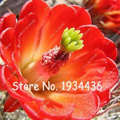 100Mixed Color Cactus Seeds Semillas De Flores lithops Seeds