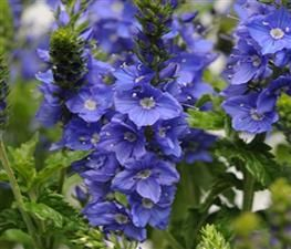 Veronica 'Venice Blue' Speedwell PPAF from The Ivy Farm
