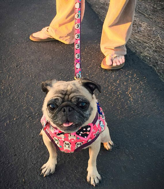 Pink Or Blue Pug Star Pattern Dog Harness 2 Colors To Choose