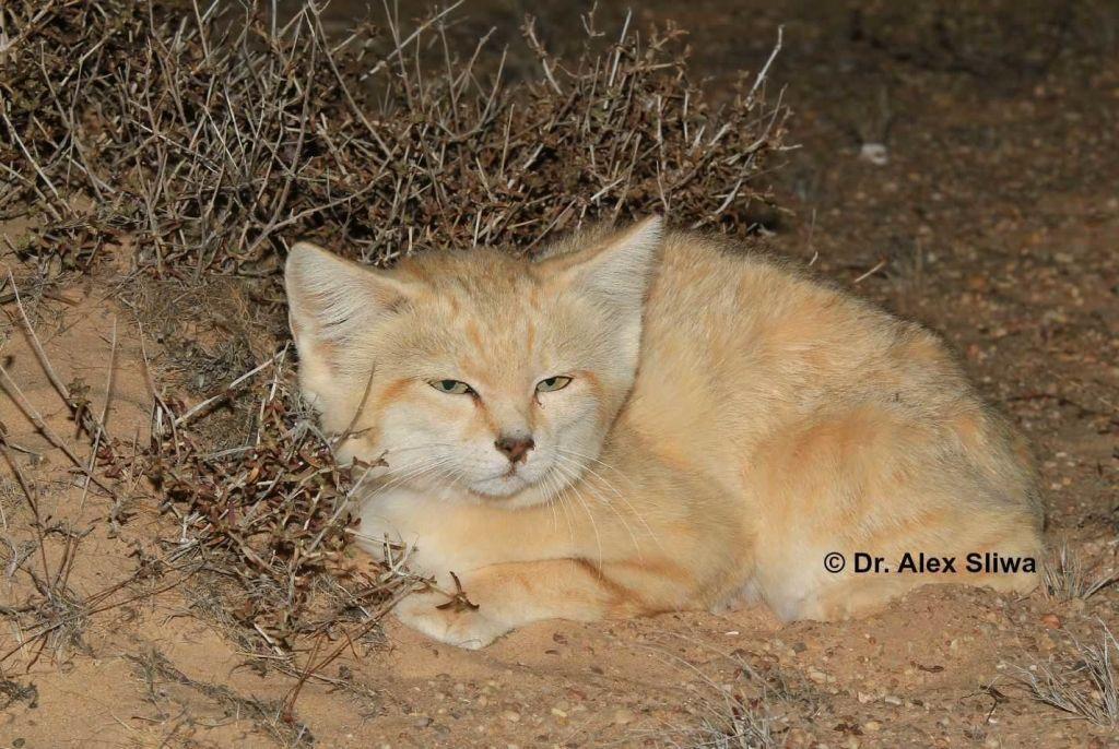 Inside Joel Sartore's 'Photo Ark' for animals Sand cat