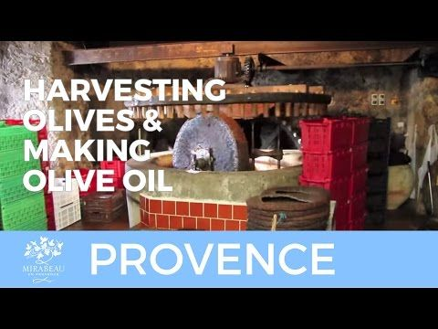 Harvesting olives and making olive oil - YouTube