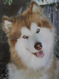 Alaskan Malamute Full Grown Google Search Alaskan Malamute