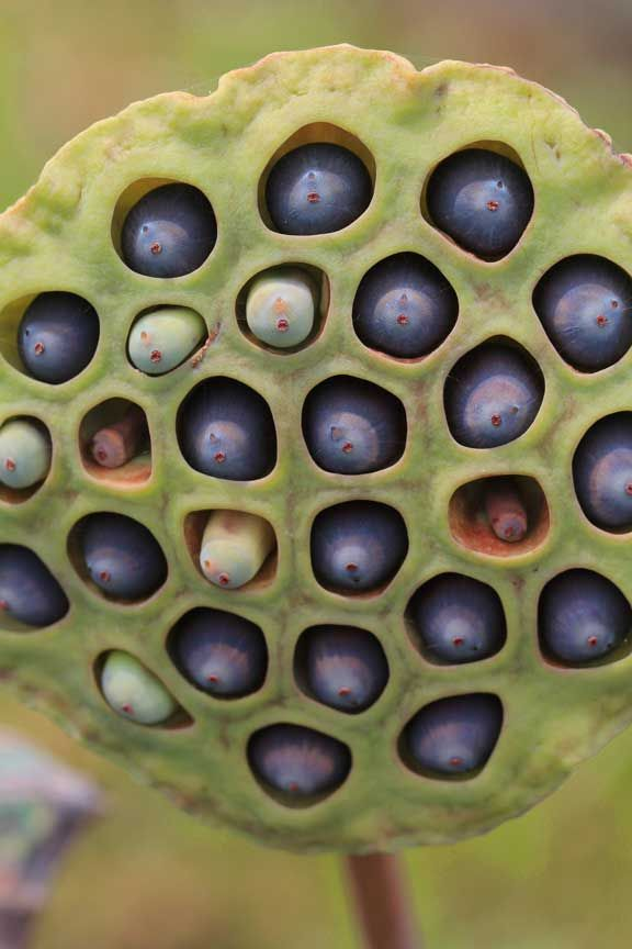 Lotus Seed Pod These Things Freak Me Out I Get Nasty Chills