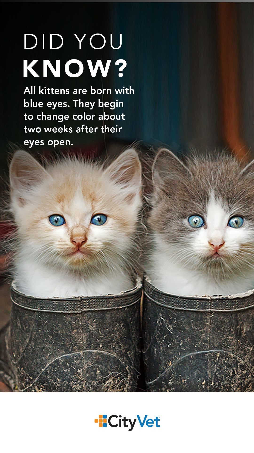 Does Your Kitten Have Blue Eyes Pets Pet Care City Vet