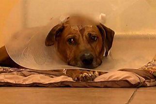 Brave Dog Survives 5 Gunshots Defending His Home Against A Burglar