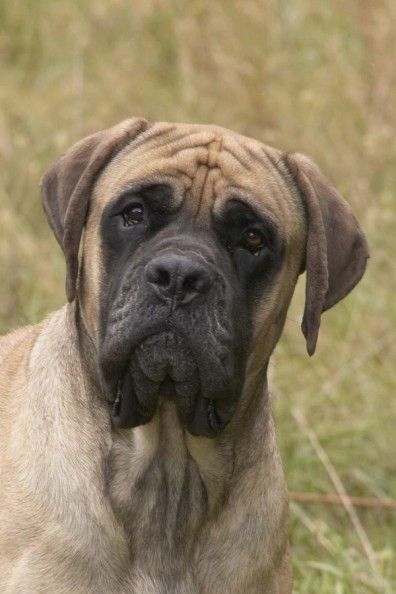 DreamAcres English Mastiffs pet classifieds dog breeders puppies for sale