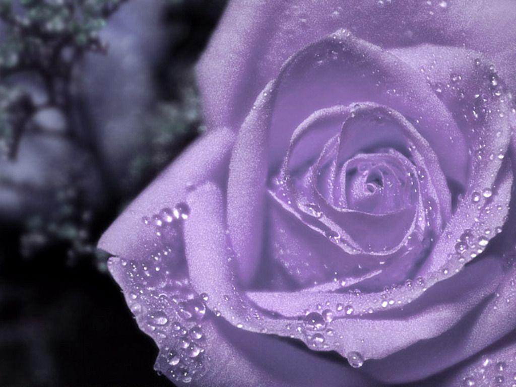 Dewdrops On Purple Rose Purple Flowers Wallpaper Purple Roses
