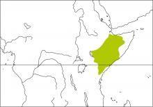 Somali Crombec (Sylvietta isabellina)
