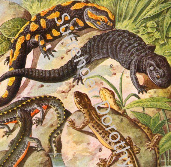 Amphibians Herpetology Chart Edwardian Natural History 1906 Chromolithograph Illustration From Germany
