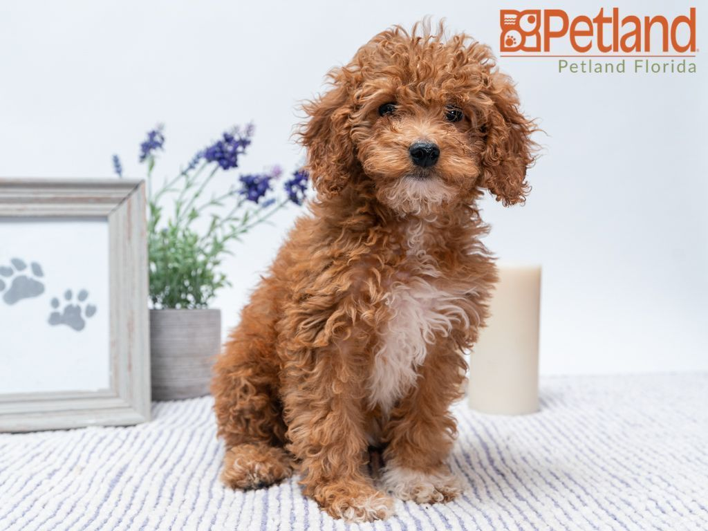 Petland Florida Has Cavapoo Puppies For Sale Check Out All Our Available Puppies Petlandpembrokepines Petland Pe Puppy Friends Puppies For Sale Puppies
