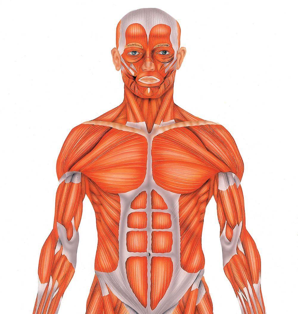 Músculos del cuerpo humano - Doctissimo | Cuerpo humano | Pinterest
