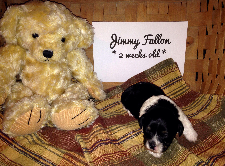 Our little Jimmy!! Poodle mix, Poodle, Jimmy fallon