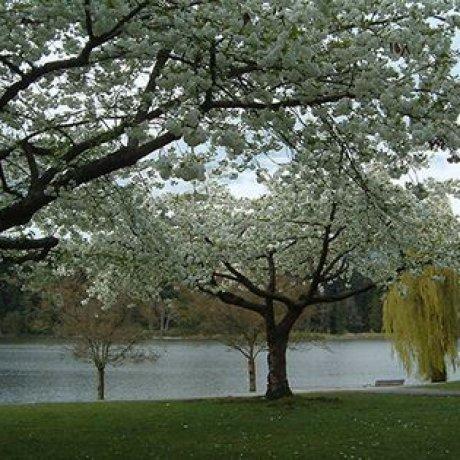 Prunus Mt Fuji Nz Google Search Flowering Cherry Tree Trees To Plant Prunus
