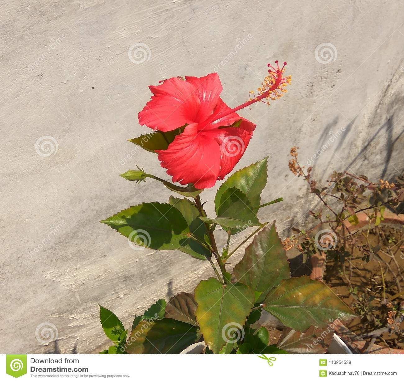 Photo About A Lovely Looking Red Jasmine Flower Bloomed In The