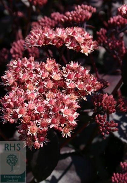 Silberdistel Carlina acaulis ssp.simplex  im 1 Liter Container