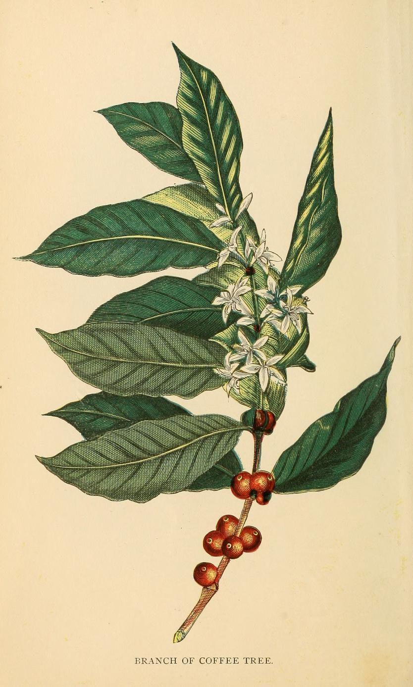Smithsonianlibraries Coffee Plant Coffee Flower Coffee Tattoos