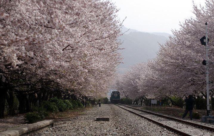 Cherry Blossom, Jinhae, South Korea