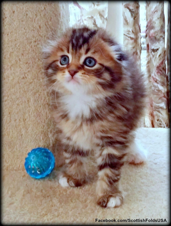 Pin On Scottish Fold Kittens