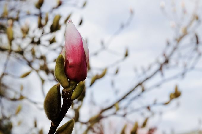 MAGNOLIA BLOOMING  by naturelover on @creativemarket