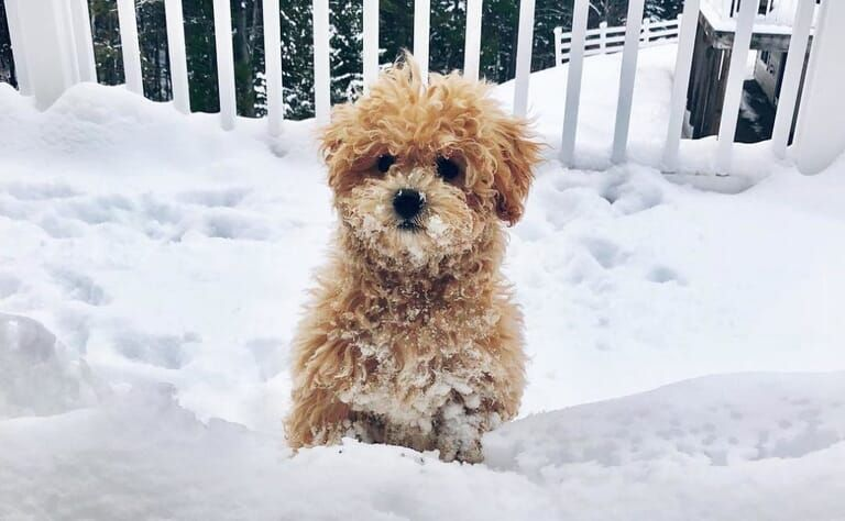 Amazing Facts About Bichon Poodle Mix Good And Bad About Them Poochon Dog Bichon Poodle Mix Dog Breeds