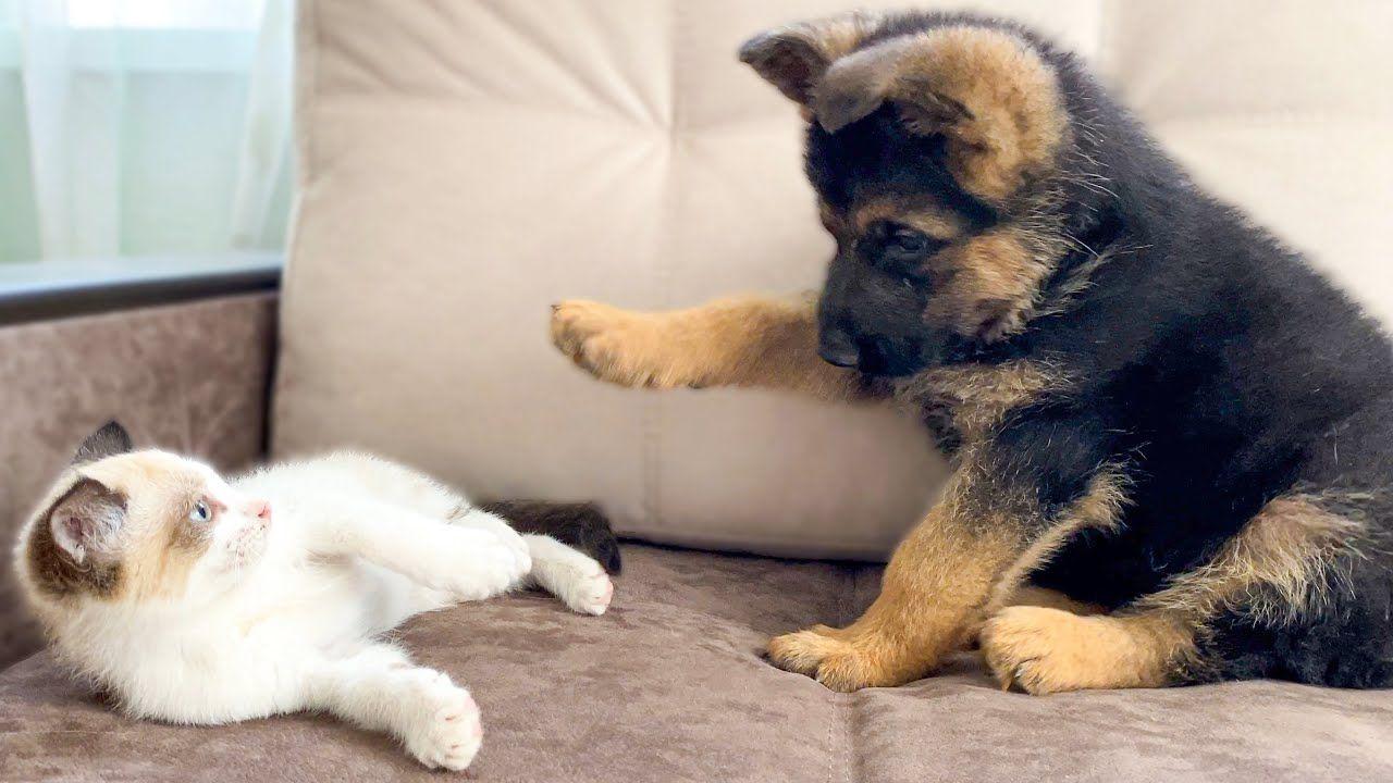 German Shepherd Puppy And Kitten Playing Try Not To Laugh Youtube In 2020 Cute German Shepherd Puppies German Shepherd Puppies Shepherd Puppies