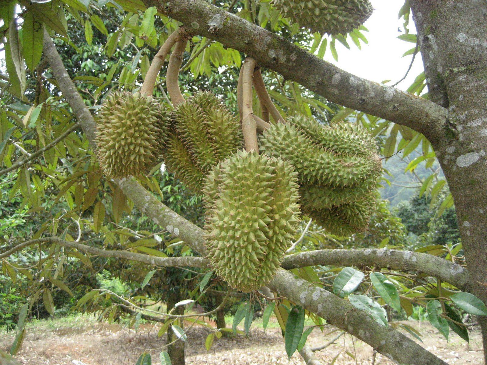 Kebun Durian Er