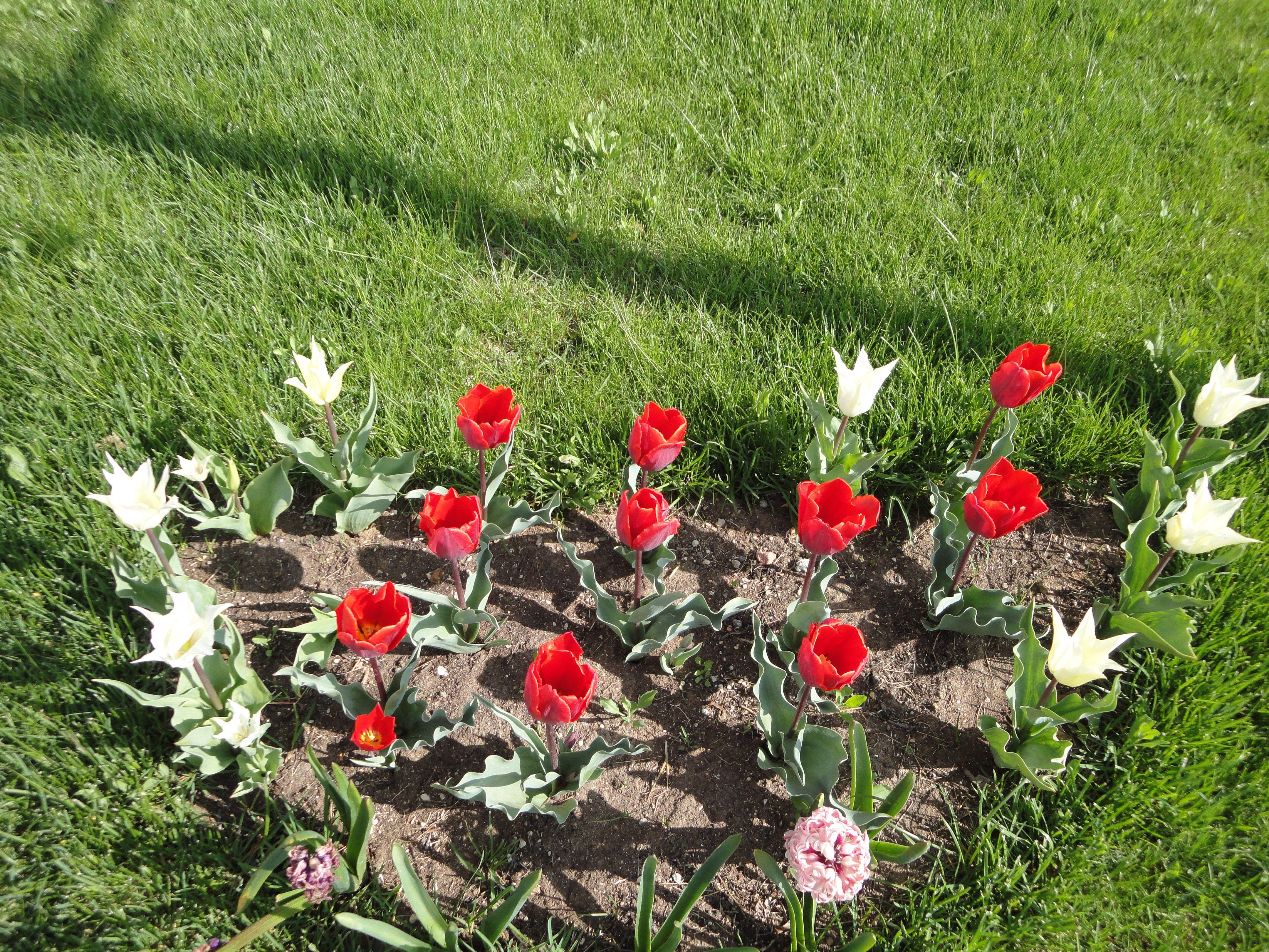 Tulip, 2008, Altınbel-ANKARA
